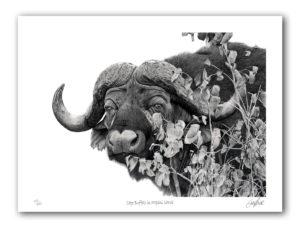 Paper Print - Cape Buffalo in Mopani Shrub
