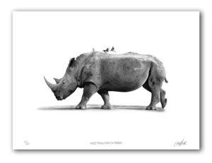The Studio Art Gallery - Paper Print - White Rhino With Ox Peckers